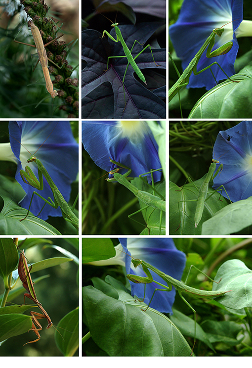 mantis-collage.jpg