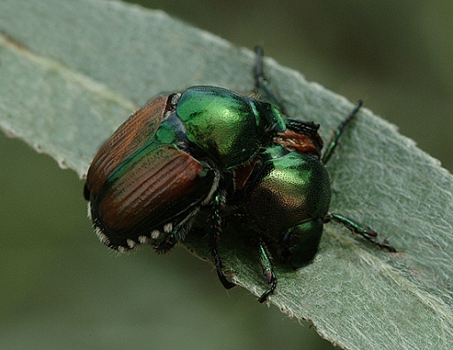 japanese-beetles.jpg