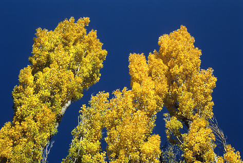 arizona-aspens.jpg