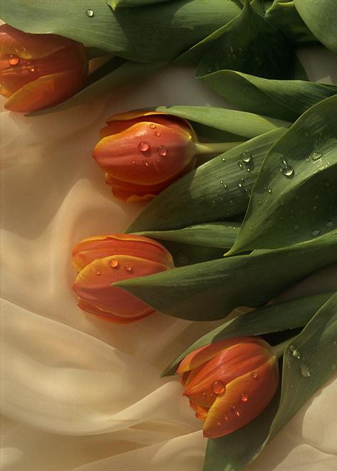 tulipseriesa.jpg