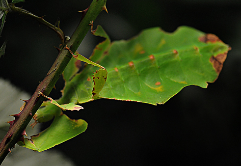 Giant Leaf Insect | Garden Muse