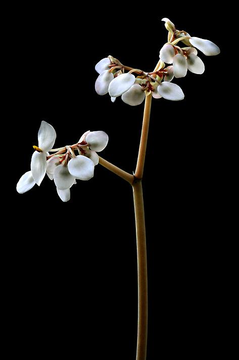 begoniaflowerbg1