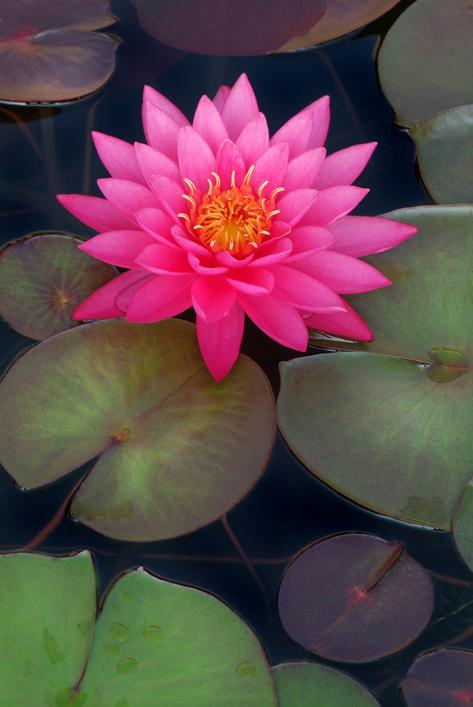 pinkwaterlily-blog