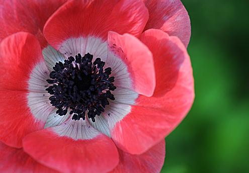 flowerpinkpoppy