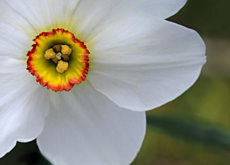 daffodilwhite