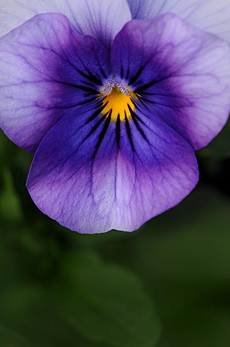 lilacbluepansy1
