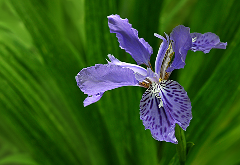 purpleirisgarvanlorez