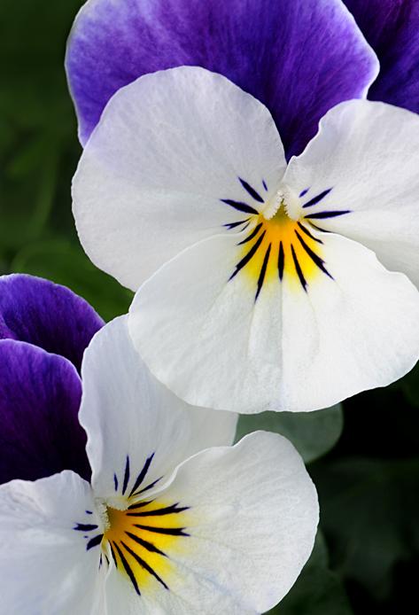 whitepurplepansies