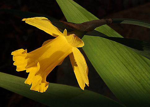 Daffodillorez