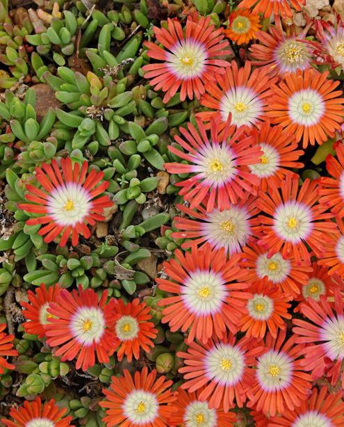 floweringsucculent