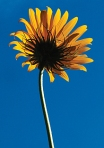 MaxSunflower