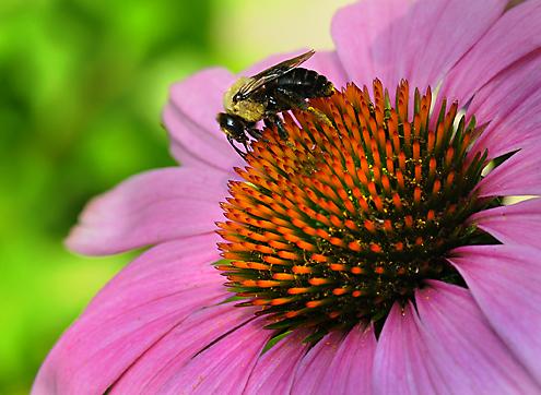 BeeOnConeflower