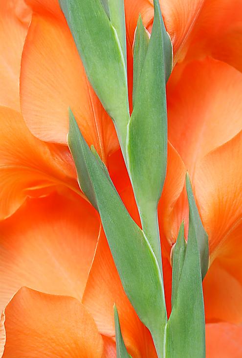 OrangeYouGladiola