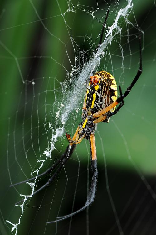 Black And Yellow Garden Spider Argiope Aurantia Garden Muse
