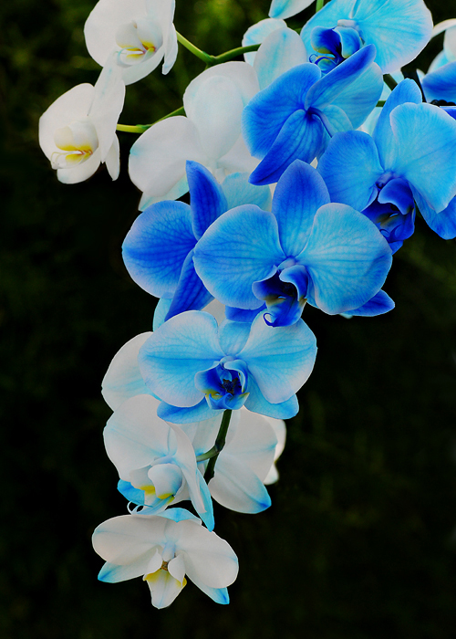 What Color Are Orchids Naturally