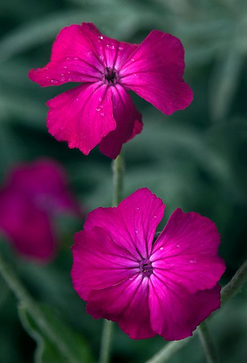 Rose Campion Garden Muse