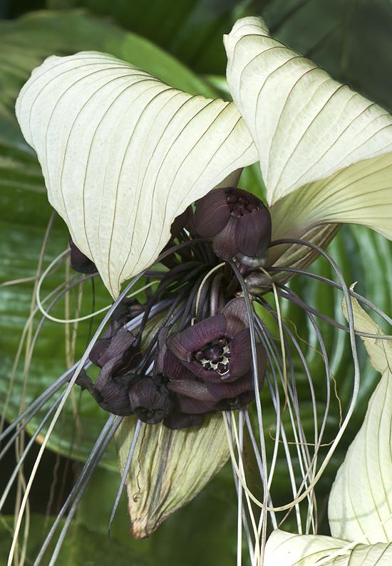White bat flower cindy dyers blog advertisements mightylinksfo