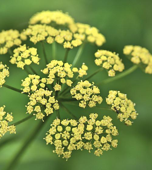 Va Native Plant Society: Virginia Native Plant