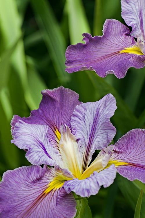 Siberian iris | Cindy Dyer's Blog