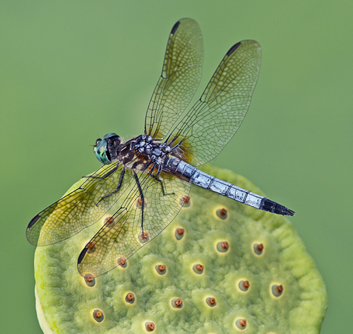 BlueDasherDragonflyPod