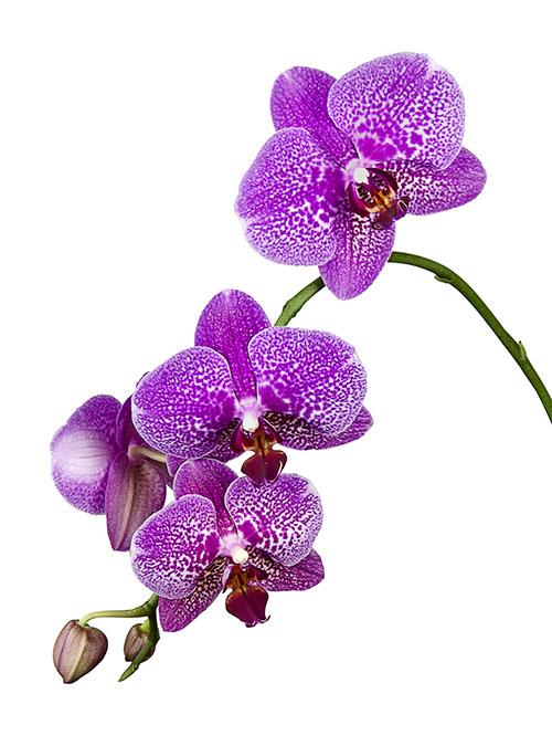 Phalaenopsis pink speckled