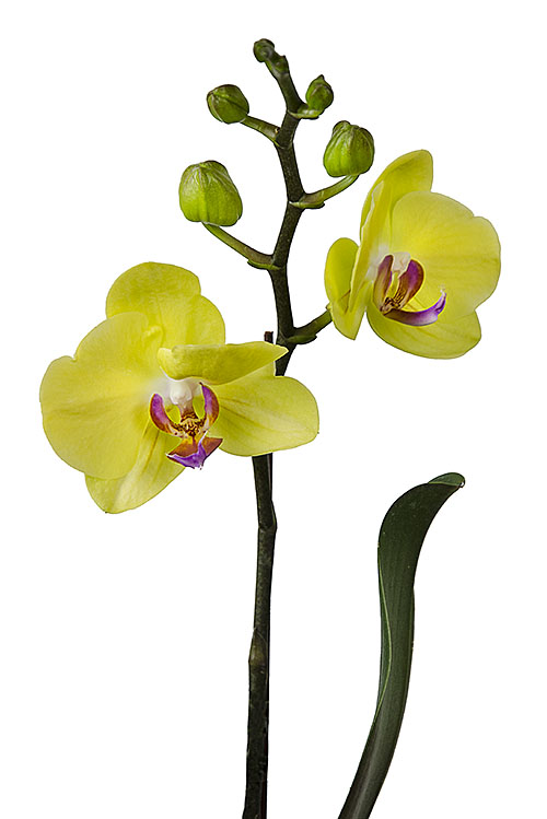 Yellow Moth Orchid