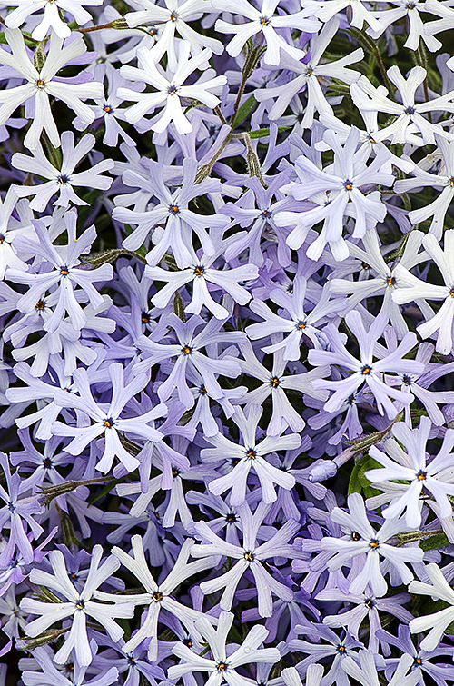 Purple White Phlox