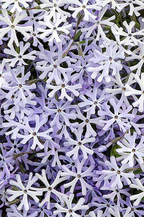 Purple White Phlox