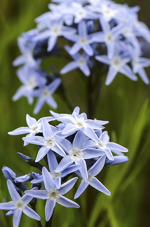 Blue Stars lorez