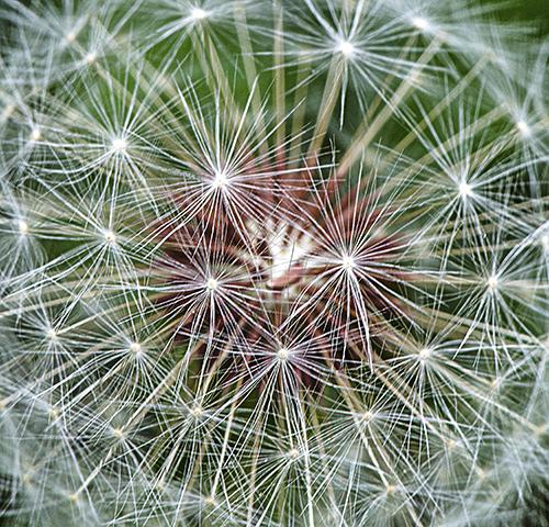 Dandelion lorez