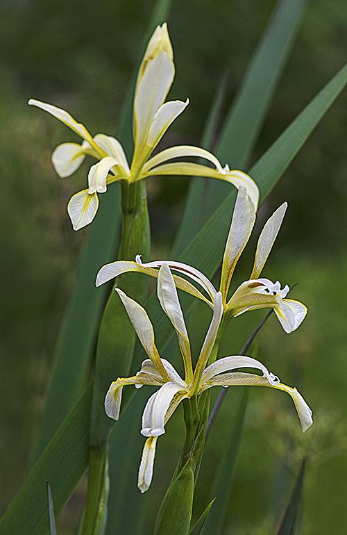 Iris Kamaoensis lorez