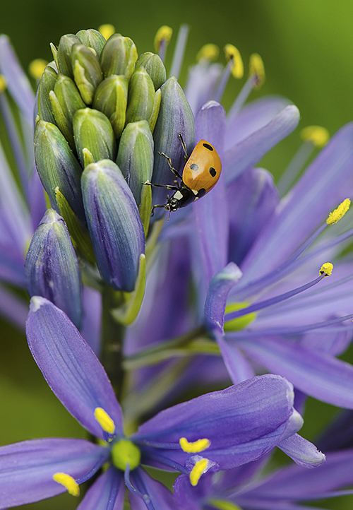 Ladybug on Blue Danube Cammas