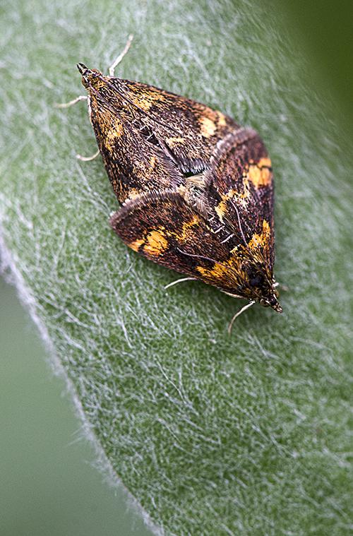 Mating Moths lorez