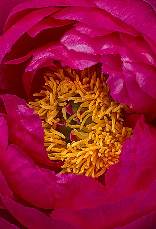 PinkPeony Closeup 1