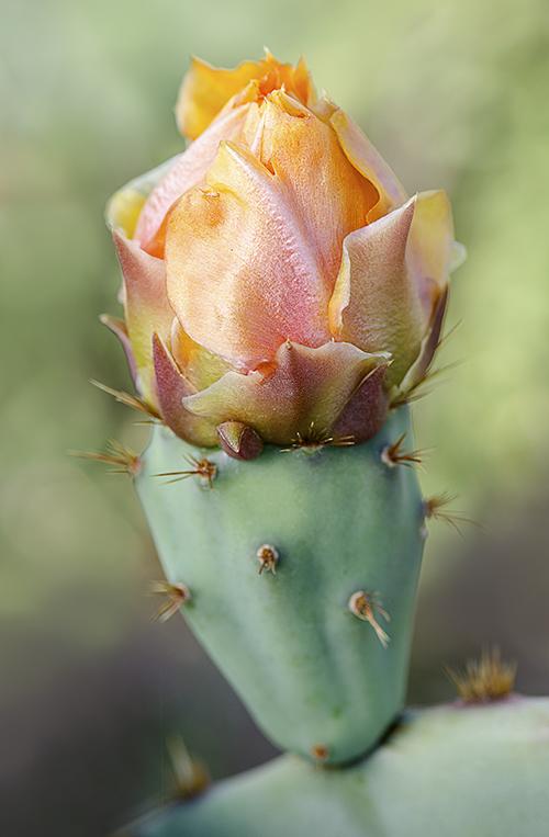 PricklyPearBloom lorez