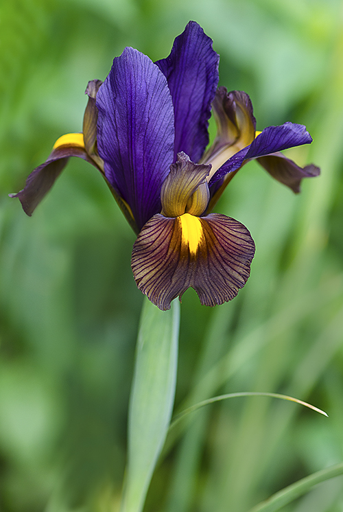 PurpleBronzeYellow Dutch Iris lorez