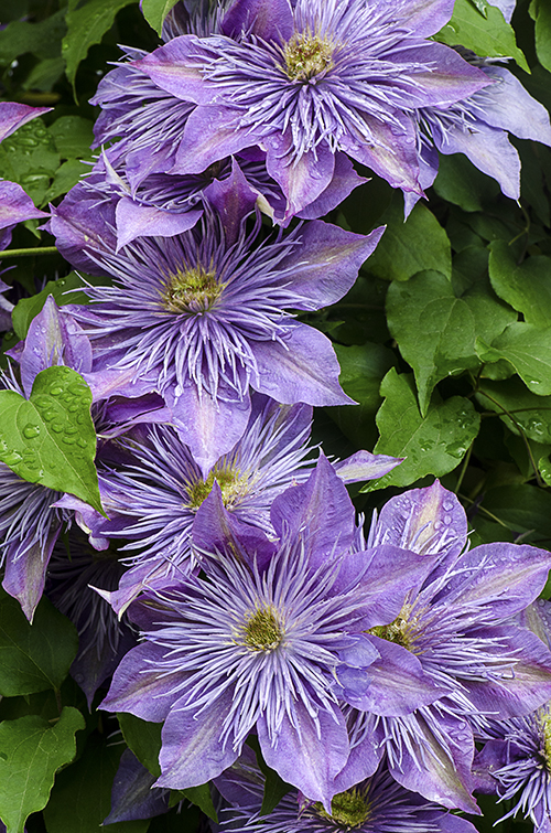 PurpleClematisGroup lorez