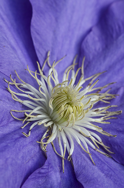 PurpleClematislorez
