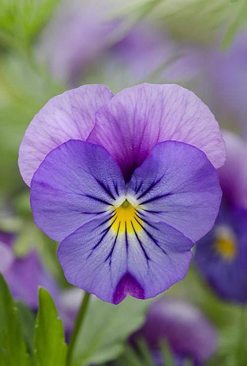 PurplePinkPansy lorez