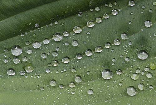 WaterdropsOnHosta lorez