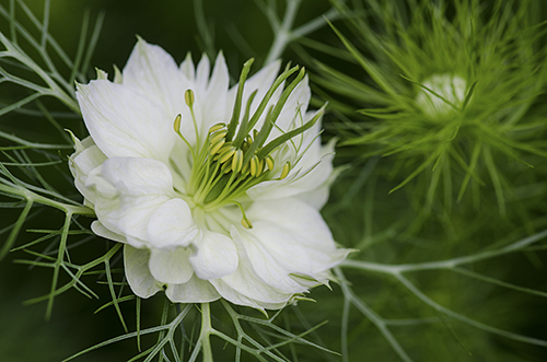 White love-in-a-mist lorez