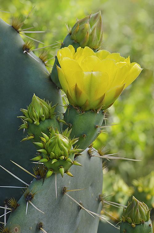 Yellow Opuntia lorez