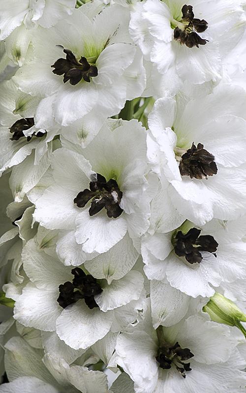 BlackEyedDelphinium lorez