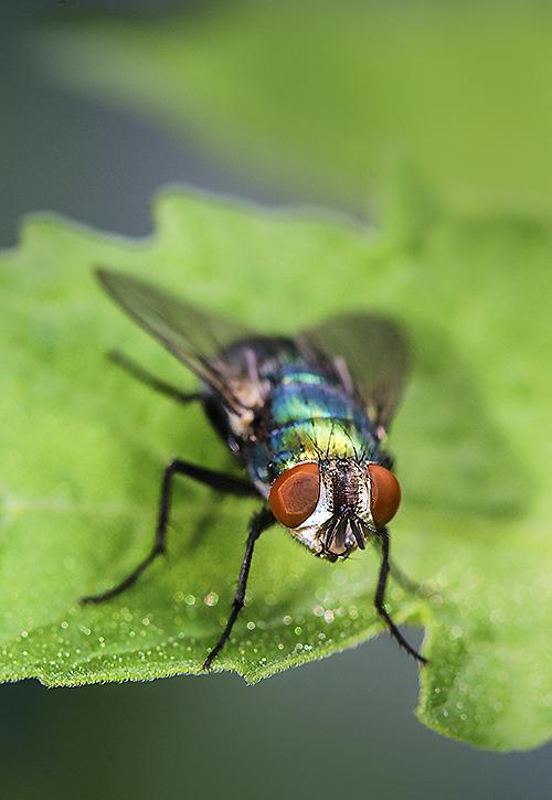 Green Bottle Fly lorez
