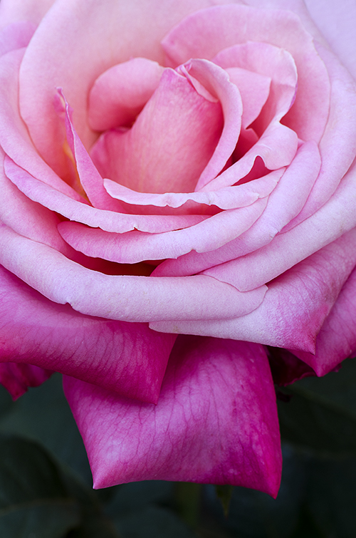 Ombre Effect Rose