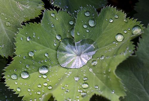 Raindrops on Ladys Mantle