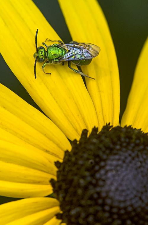 Green Bug on Rudbeckia