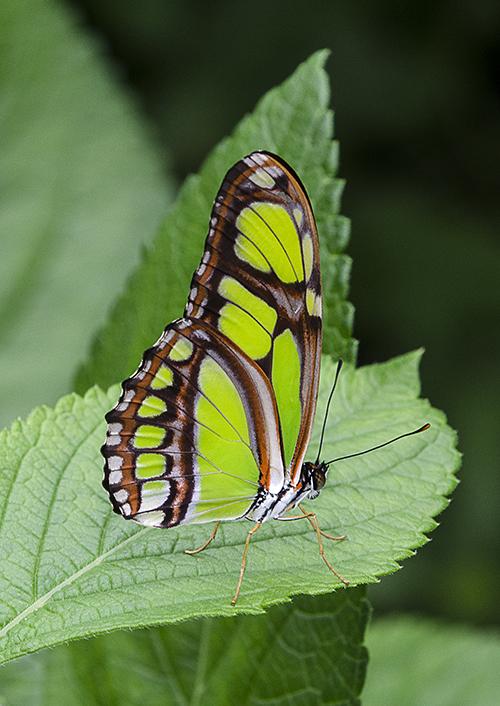Malachite Butterfly lorez