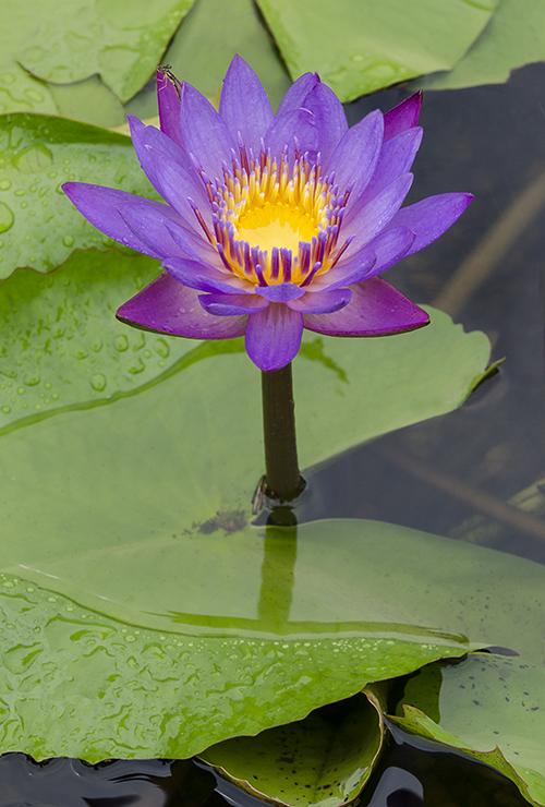 PinkYellow Waterlily lorez