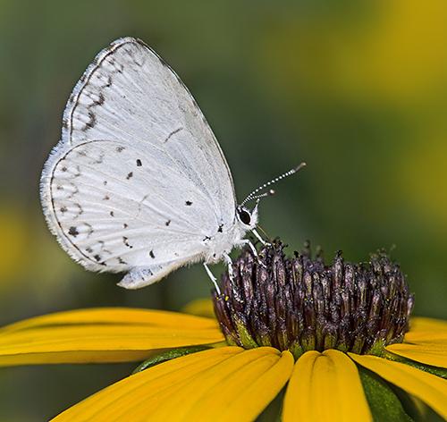 WhiteButterflyRudbeckia
